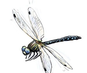 Common Hawker - dragonfly