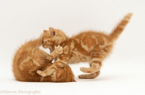 British Shorthair Red tabby kittens playing