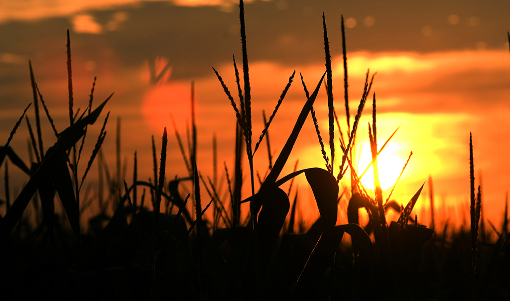 MSU corn field detail at sunset in July 2006.